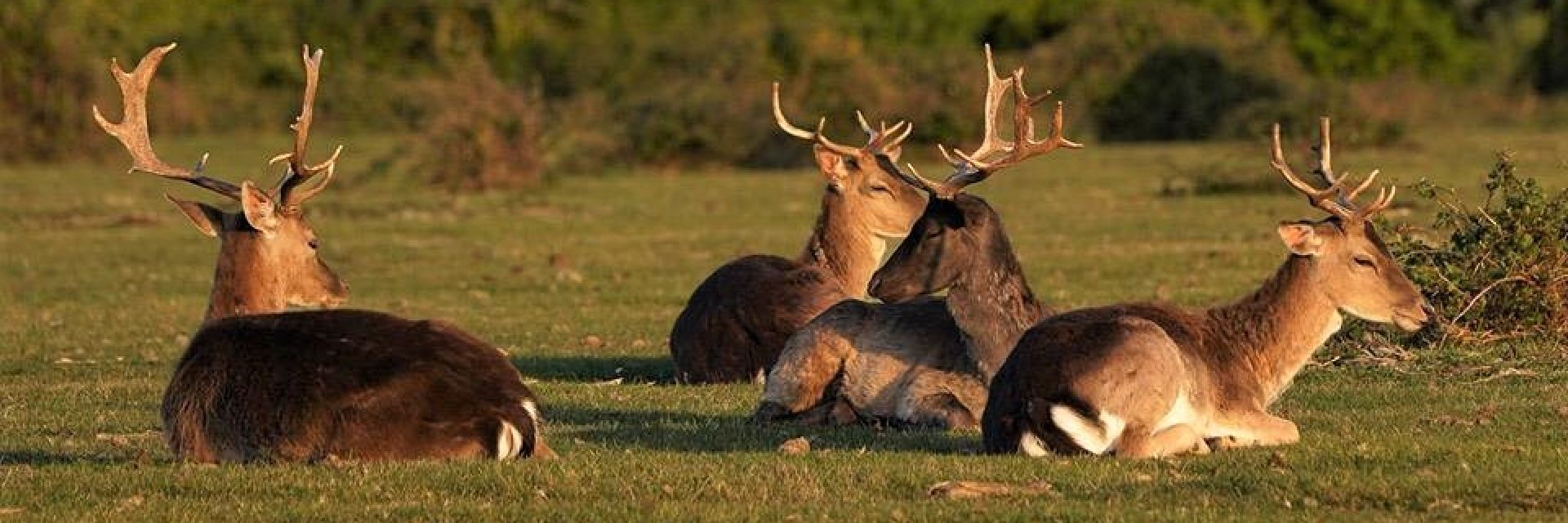 Fallow deer grazing freely within the New Forest national park Hampshire, The main source of venison  available daily from our catering butchers.