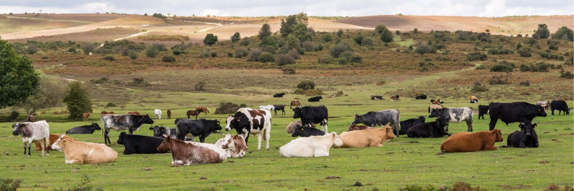 New Forest national park, New Pastures Butchers suppliers of wholesale free range beef , organic fresh meat, Hampshire